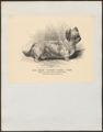 Canis lupus familiaris - 1700-1880 - Print - Iconographia Zoologica - Special Collections University of Amsterdam - UBA01 IZ22200172.tif