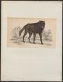 Canis lycaon - 1833-1866 - Print - Iconographia Zoologica - Special Collections University of Amsterdam - UBA01 IZ22200371.tif