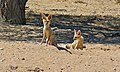 Cape Foxes (Vulpes chama) (6537012861).jpg