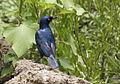 Cape glossy starling, I guess, at Kruger National Park (13826793415).jpg