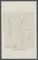 Caprella kroyeri - - Print - Iconographia Zoologica - Special Collections University of Amsterdam - UBAINV0274 098 05 0002.tif