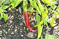 Capsicum baccatum Aji Colorado 1zz.jpg