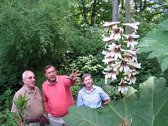 Cardiocrinum giganteum - A plant of Cardiocrinum giganteum var. yunnanense growing at Jardin Jungle Karlostachys in France