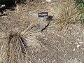 Carex flagellifera - J. C. Raulston Arboretum - DSC06144.JPG