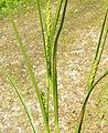 Carex lasiocarpa inflorescens (15).jpg