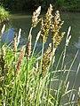 Carex paniculata sl6.jpg