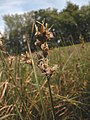 Carex pseudobrizoides inflorescens (10).jpg