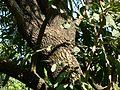 Caribbean trumpet tree (2095029697).jpg