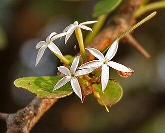 Carissa - Conkerberry (C. spinarum) flowers in Shamirpet, Rangareddy district, Andhra Pradesh, India.