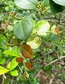 Carissa spinosa vaaka at Kambalakonda.JPG