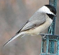 Carolina Chickadee Image 001