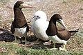 Casal e filhote de atobá (Sula leucogaster) nas ilhas Moleques do Sul, sul do Brasil 2.jpg