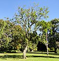 Casearia gladiiformis, groeiwyse, KZN NBT.jpg