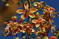 Cassia brewsteri 3.jpg