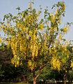 Cassia fistula (Amaltas) in Hyderabad W IMG 8172.jpg