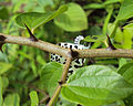 Castalius rosimon - Common Pierrot on the hostplant Ziziphus oenoplia - Jackal Jujube 25.JPG