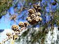Casuarina cunninghamiana fruit (1).jpg