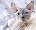 Cat - Sphynx. img 059.jpg
