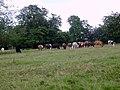 Cattle grazing - geograph.org.uk - 490105.jpg