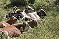 Cattles in Saimbeyli - Saimbeyli'de inekler.jpg
