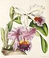 Cattleya labiata111.jpg