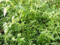 Cedronella canariensis (L.).jpg