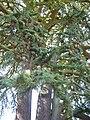 "Cedrus libani ""Cedar of Lebanon"" (Pinaceae) (fir).JPG"