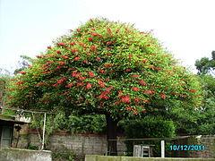 Erythrina crista galli wikipedia la enciclopedia libre for Arboles perennes en argentina