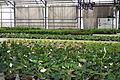 Centre horticole de la Ville de Paris a Rungis 2011 086.jpg