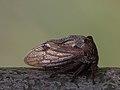 Centrotus cornutus - Dornzikade (7815306884).jpg