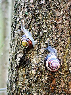 Escargot des bois (Cepaea nemoralis)