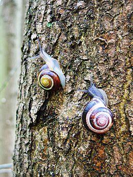 Cepaea nemoralis active pair on tree trunk
