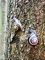Cepaea nemoralis active pair on tree trunk.jpg