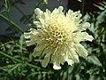 Cephalaria gigantea1.JPG