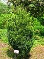 Cephalotaxus harringtonia - Tower Hill Botanic Garden.JPG