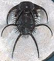 Ceratarges spinosus fossil trilobite Maroc.jpg
