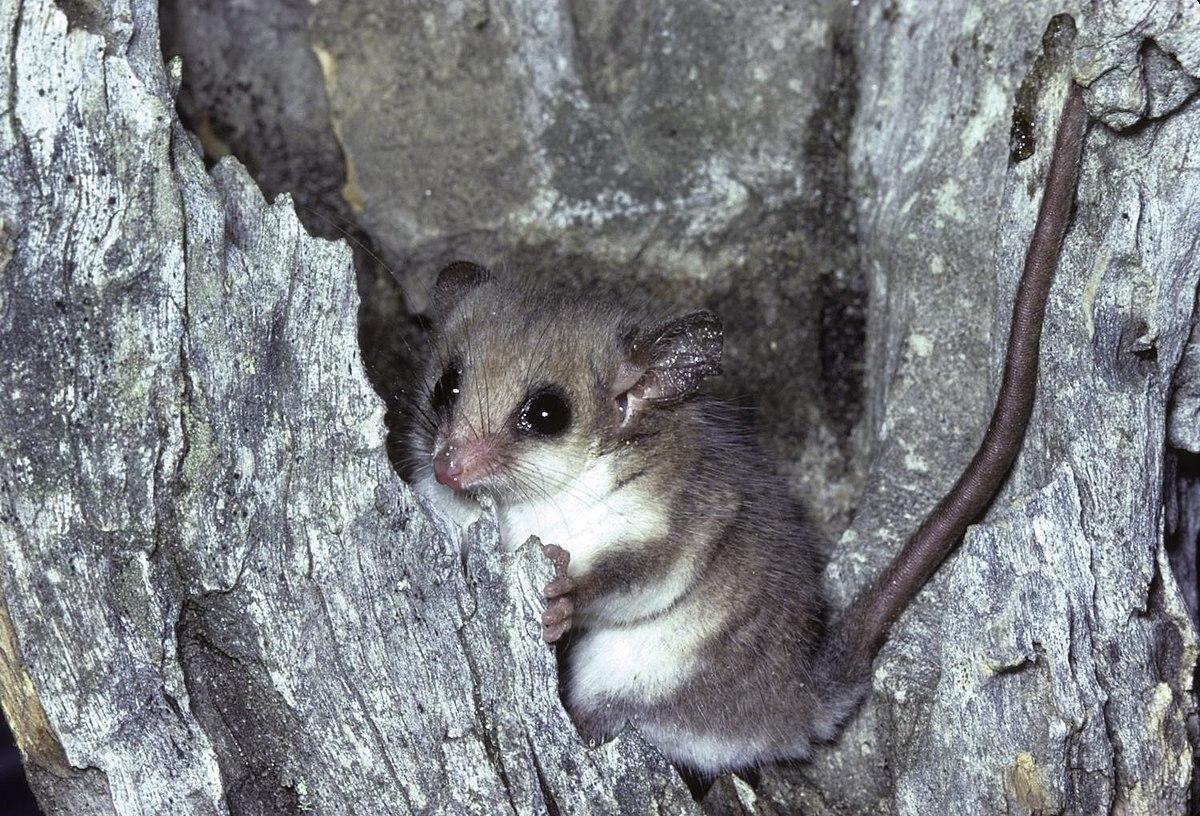 Pygmy possum - Simple English Wikipedia, the free encyclopedia
