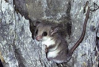 Western pygmy possum Species of marsupial