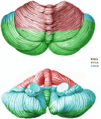 Cerebellar blood-flow.png