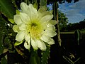Cereus cactus Aliyar ph 04.jpg