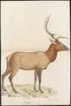 Cervus canadensis - 1818-1842 - Print - Iconographia Zoologica - Special Collections University of Amsterdam - UBA01 IZ21500308.tif