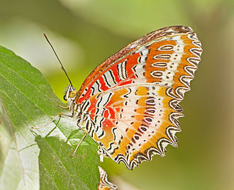 Doi Inthanon National Park - Image: Cethosia biblis Doi Inthanon