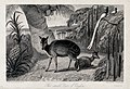 Ceylon; a deer with its fawn in a tropical rainforset surrou Wellcome V0022826.jpg