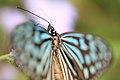 Ceylon Blue Glassy Tiger - Ideopsis similis - 琉球浅葱斑(リュウキュウアサギマダラ) (8906428150).jpg