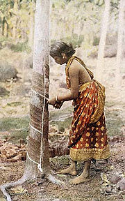 A tree woman in Sri Lanka in the process of harvesting rubber.