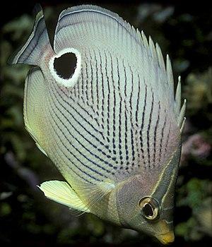 Foureye butterflyfish - Image: Chaetodon capistratus 2