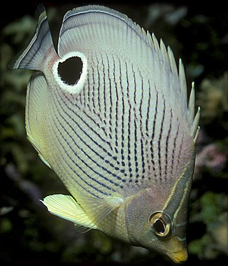 Automimicry - Eyespots of foureye butterflyfish (Chaetodon capistratus) mimic its own eyes, which are camouflaged with a disruptive eye mask, deflecting attacks from the vulnerable head.