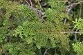 Chamaecyparis pisifera Fernspray 1zz.jpg