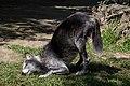 Chapultepec Zoo - Canadian wolf (02) (33636746020).jpg