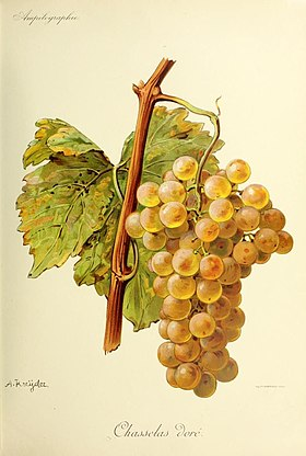 Chasselas (cépage)